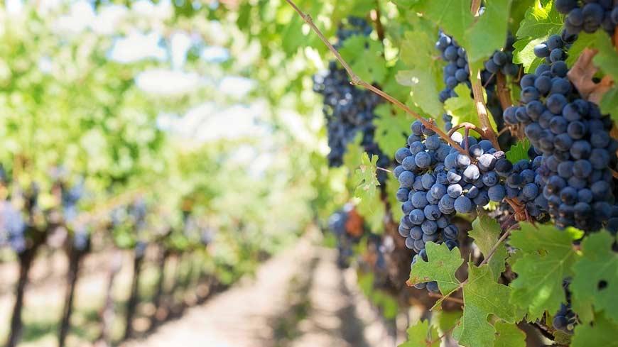 vinski turizam grožđe